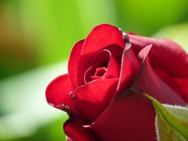 Red rose by Mad-Popietro