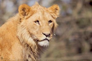 Young male lion. by Ravenith