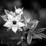 Tiny New Life B+W Flower by Saknika
