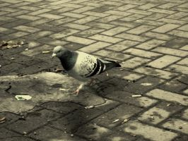 One pigeon at a time. by elicenia