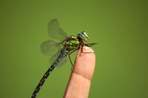 Bobelina Dragonfly by NightKn8
