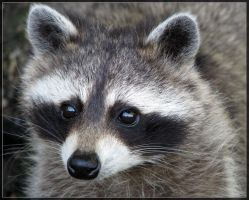 Raccoon 2 by maska13