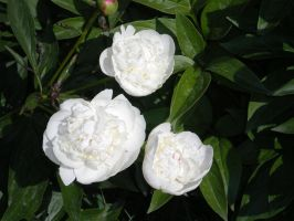 White Peonies by The--Enchantress