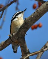 Lil nuthatch by masscreation