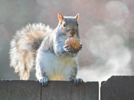 Eastern gray squirrel 116: The treasure by EasternGraySquirrel