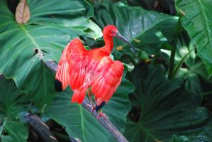 Scarlet Ibis I by ManitouWolf