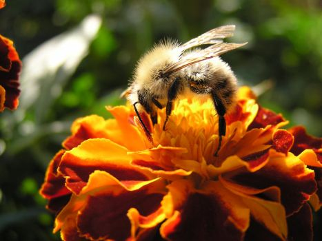 Bee during work by da-Chris
