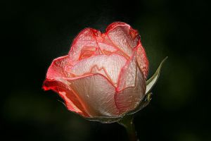 Glass Rose by digitalpix4all