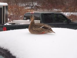Duck on my car (close up) by Culinary-Alchemist