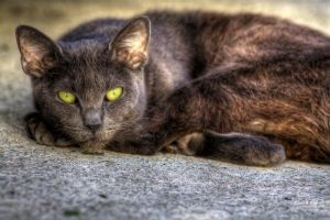 Cat HDR by JessicaM