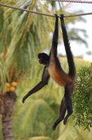 Spider Monkey by JBlue2389