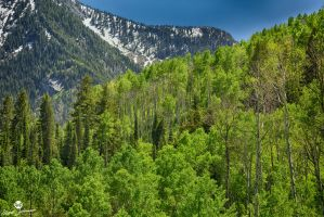 Tall Green Aspens HDR by mjohanson