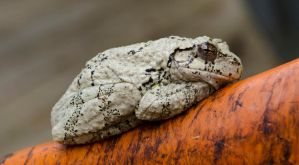 Gray Tree Frog by TheHorrorFrog