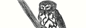 Sketch Northern Saw-Whet Owl by MyBloodyLove