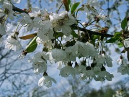 Blossoms by CKPhotos