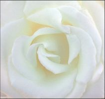 WHITE ROSE 2 by THOM-B-FOTO