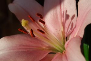 Pinky Lilly Stamens by mr-macd