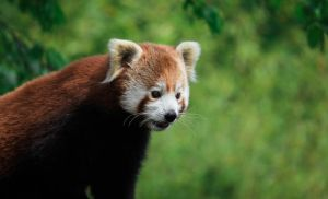 Red Panda by Lucky101212