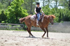Chestnut quarter horse spin with rider II by equustock