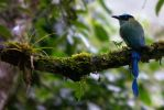 Highland Motmot by Ironpaw