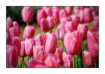Tulipes by GregColl