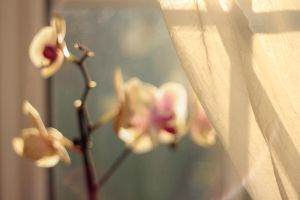 Soft Orchid I by piskieheart