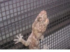 gecko on my window by insectmaster