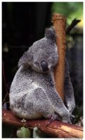Sleepy Koala by TVD-Photography