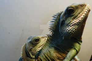 Chinese Water Dragons by Hyperborean1987