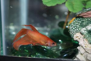 Finneas the Betta Fish by icantthinkofaname-09