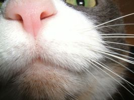 The Cat's Whiskers... And Nose by cat-lovers