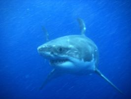 Great White Shark III by BioHazardSystem