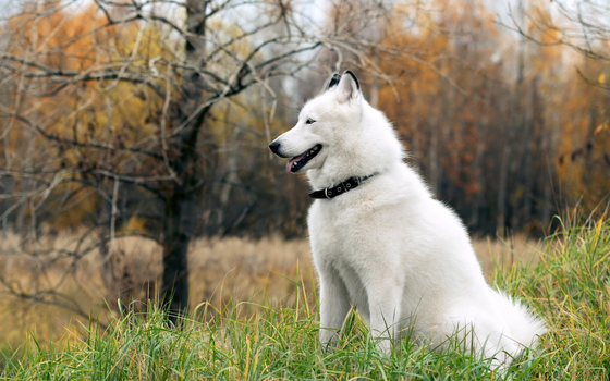 White Husky by WallpaperEarth