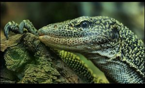 Monitor Lizard by Haywood-Photography