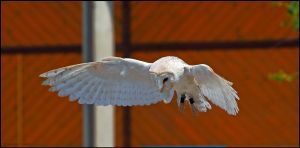 Barn Owl Display by andy-j-s