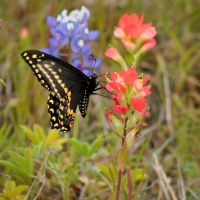Butterfly On Indian Paintbrush by AndrewCarrell1969