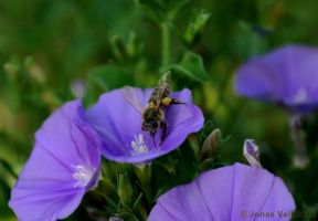 Bee on a flower by friedapi