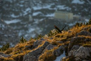 Alpine Chough and some flying bugs by morgh-us