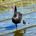Black Swan by Okavanga
