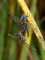 Mating Dragonflies by lisoslyphem