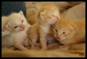Kittens 3 by KSPhotographic