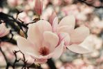 Magnolia by roxlittlevoice
