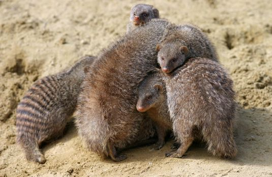Mongoose cuddle by marble911