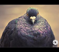 Starry Eyed Pigeon by Mfotografie