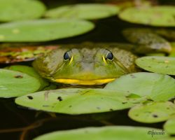 Bull Frog by Les-Piccolo