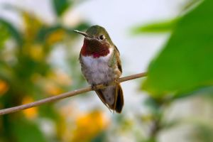 Broad Tailed Hummingbird by Kendra-Paige