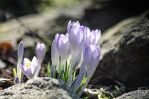 Crocuses by Tracuss