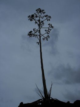 Agave by ArtyD2