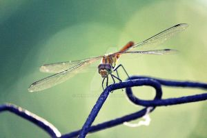 dragonfly by NemanjaJ