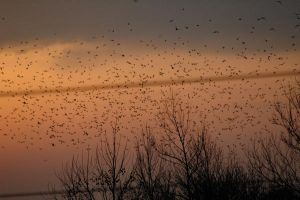 CLOUD OF BIRDS AT DUSK by jchrist04
